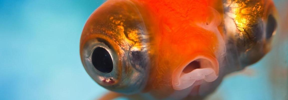 Goudvis met grote ogen